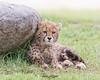 Cheetah Cub (ToddLahman) Tags: cheetah cheetahcub addison cub outdoors mammal portrait beautiful canon7dmkii canon sigma150500 sandiegozoosafaripark safaripark escondido eyelock