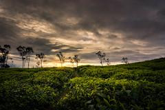 Cau Dat Tea Farm