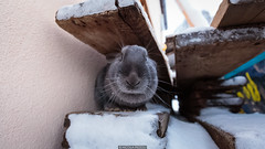 Cute Look (Nicola Pezzoli) Tags: dolomiti dolomites unesco val gardena winter snow alto adige italy bolzano mountain nature december cute bunny rabbit animal monte seura pana