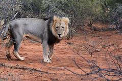 Lion South Africa _4019 (ichauvel) Tags: lion mâle félin animalsauvage wildeanimal savane parckruger krugerpark mpumalanga afriquedusud southafrica afrique africa voyage travel exterieur outside