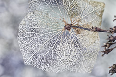 Like Frozen Lace (Alfred Grupstra) Tags: nature closeup leaf branch macro plant tree backgrounds season highkey hidrangea frozen frost