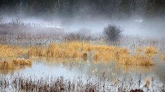 Fog Swamp (Faron Dillon) Tags: fog foggy yellow grass winter flood flooded 5ds canon 70200l is ii nature ontario trees morning day colorful dslr zoom pond cold