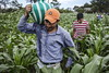 Farmers working in a maize field framed with avocado plants in the village of San Lorenzo (FAO of the UN) Tags: sanlorenzo mexico migration fao unfao migración migrantes latinamericaandthecaribbean rurallivelihoods guatemala faoofteun