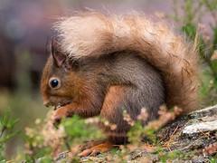 Munching! (Sandy MacLennan) Tags: red squirrel redsquirrel sciurusvulgaris fourfingers fivetoes