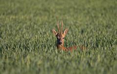 Crop  Muncher! (EmPhoto.) Tags: roedeer roebuck wild mammal uk emmiejgee wildaboutnature canoneos70d feeding tamronsp150600mm nature