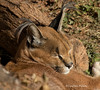 Napping Caracal (Lindell Dillon) Tags: okczoo caracal oklahoma wildlife nature lindelldillon
