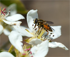Blossom and Fly (Hindrik S) Tags: fly mich hoverfly sweefmich vliegbasis vlieg zweefvlieg insect ynsekt par pear peer birne blossom bloesem blom bloem tree fruit frucht vrucht obst white wyt weiss blanc skepping schöpfung schepping creation nature natuer natur natuur sonyphotographing sony sonyalpha a57 α57 slta57 tamron tamronspaf90mmf28dimacro 90mm prime 2016