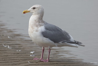 Hybrid Gull, large, Malibu Lagoon, CA CQ4A9337