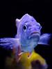 Purple fish (Tracy A Vickers) Tags: fish acquarium