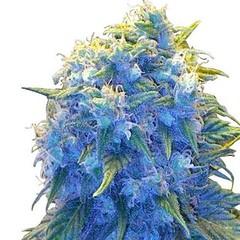 blue-haze-seeds-fem_large (Watcher1999) Tags: blue haze cannabis seeds marijuana medical hemp herbs ganja smoking