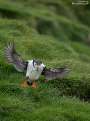 Lundi (dieLeuchtturms) Tags: lunde alkenvögel ingólfshöfði europa 3x4 island regenpfeiferartige wirbeltiere austurland skeiðarársandur papageitaucher europe fraterculaarctica iceland puffin is
