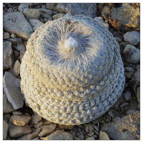 Bokes Button Cactus