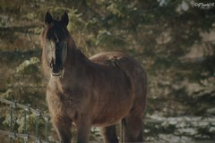 Craintif (granule19) Tags: cheval horse winter hiver