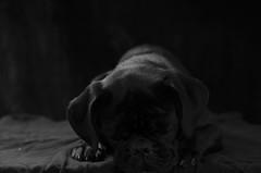 Shiva (PJ_Weiss) Tags: pet pug mops cute blackpug