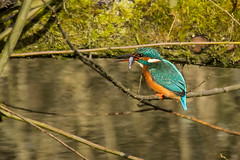 KINGFISHER (_jypictures) Tags: animalphotography animals animal canon7d canon canonphotography wildlife wildlifephotography wiltshire nature naturephotography photography pictures kingfisher birdphotography bird birds birdwatching birding birdingphotography birders