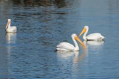 American White Pelicans (linda m bell) Tags: pradoregionalpark 2018 birdwatching chino prado birds california socal americanwhitepelicans