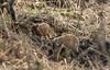 Wild boar piglets. (jonathancoombes) Tags: animal pig hog boar piglet hoglet forest dean
