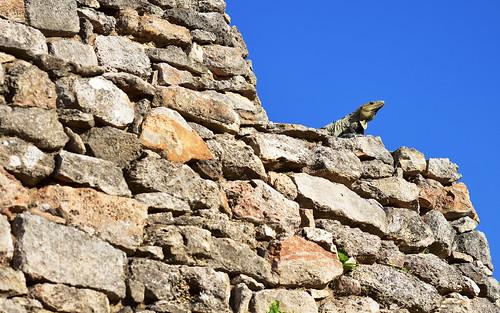 Lizard 17