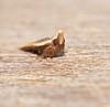 Upturned nose snout moth Eutorna sp Depressariidae Gelechioidea Airlie Beach rainforest P1270768 (Steve & Alison1) Tags: upturned nose snout moth airlie beach rainforest eutorna sp depressariidae gelechioidea