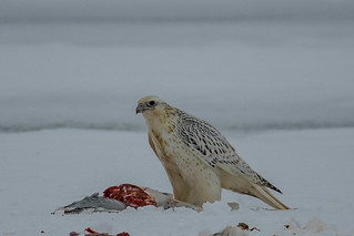 The White adult Gyrfalcon is in control