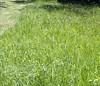 green grass (18victa) Tags: grass green lawn mower victa victa18 lawnmower rotomo 18victa lawnmowing victor