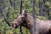 Cow with Attitude (Dan King Alaskan Photography) Tags: cowmoose moose cow alcesalces spruce tworiversalaska canon50d sigma150500mm