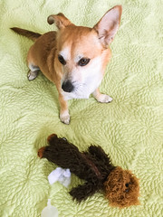 Mortally wounded Wookie (jmhull.LA) Tags: dog wookie chorgi chewbacca chihuahuacorgi dogtoy
