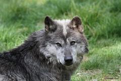 Loup du Canada_JOKER (Passion Animaux & Photos) Tags: loup canada canadian wolf canis lupus occidentalis parc animalier saintecroix france