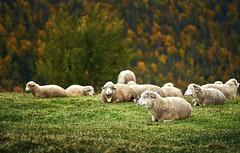 DSC00407_1_1_1 (silviu_z) Tags: natural farm rural sony nature ilce7rm2 zeiss batis outdoor animals forest hill tree grass green orange autumn romania magura silviu zlot 85 sheep