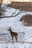 Oh Bucky dear (sniggie) Tags: mercercounty shawneeruntrail antler buck deer snow whitetaileddeer winter kentucky