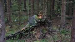 Young beech on dead spruce (gerhardschorsch) Tags: sony zeiss za 55mm fe55mmf18za ilce7r a7r available wald natur nature fichtenwald buche beech