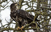 Sheltering from the wind (nickinthegarden) Tags: americanbaldeagle baldeagle eagle sumasprairie abbotsfordbccanada