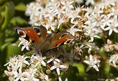 Borboleta Inachis io, a primeira de 2018 (marialuísaaraújo) Tags: borboletapavão colorida beleza plantadejade