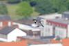 9P1A2525 Peregrine falcon (female) Manchester (Adrian Dancy) Tags: bird nature wildlife wildbird raptor birdofprey peregrine peregrinefalcon falcon falcoperegrinus manchester manchestersperegrinefalcon manchesterperegrines urban urbanperegrine urbanperegrinefalcon urbanbirds urbanwildlife flight inflight birdsinflight fastestbird fastest adriandancy