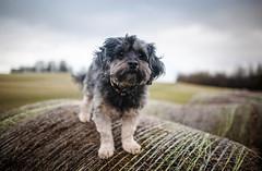 4/52 - Watch Dog. (Kirstyxo) Tags: teddy cute dog sweet hay 452 52weeksfordogs 52weeksfordogs2018 52weeksfordogs18 suchgloomyweather bringonspring