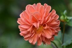 Thursday`s  Flower (Eleanor (No multiple invites please)) Tags: orangeflower busheyrosegarden stanmore uk nikond7200 105mmmacrolens october2017