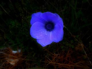 Windflower(anemone)