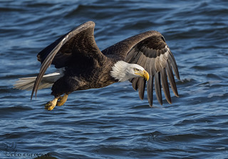 Bald Eagle on the hunt.