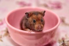 Willi (Schneeglöckchen-Photographie) Tags: willi hamster animal cute pink