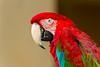 Big Red (james.froumis) Tags: hawaii d750 nikon kauai animalplanet red green macaw bird kauaibatch2