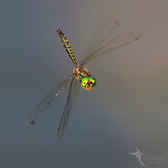 Australian Emerald (VS Images) Tags: australianemerald emerald dragonfly dragonflies dragonfliesinflight insects insect insectsinflight insecta australia nsw nature ngc naturephotography getolympus m43 vassmilevski vsimages olympus olympusau australianwildlife australianinsects wildlife wildlifephotography