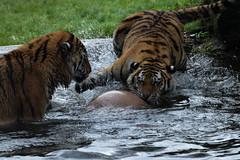 Amur Tigers (dracolady1) Tags: dslrcamera nikond5300 tamron150600mmlens bigcats amurtigercubs cheetah snowleopard amurleopard marwellzoo hampshire uk lightroom5 photoshop12