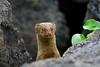 Pop Up Mongoose On Kona (AlaskaFreezeFrame) Tags: mongoose asianmongoose mammal carnivore herpestesjavanicus hawaii kona hilo bigisland diurnal nature outdoors wildlife predator canon 70200mm flash alaskafreezeframe fast weasellike invasivespecies