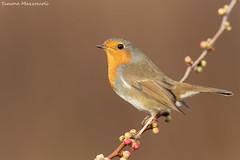 Tra i raggi.. (Simone Mazzoccoli) Tags: robin pettirosso bird birds nature wild wildlife animals birdwatching outdoor uccelli light background