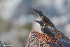 Ground Woodpecker (Geocolaptes olivaceus) (Hans Olofsson) Tags: sydafrika groundwoodpecker geocolaptesolivaceus rooiels västrakapprovinsen endemic westerncape
