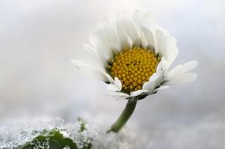 Daisy on Ice , Freitagsblümchen