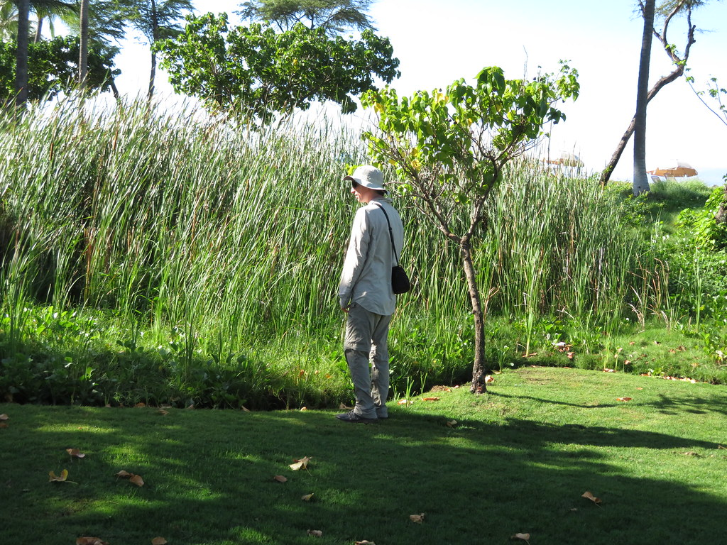 starr-180129-1693-Typha_latifolia-patch_in_moist_area_of_lawn_with_Forest-Kaanapali_Beach_Walk-Maui