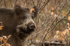 """Ca sent le cochon"" (Eric Penet) Tags: animal sauvage france faune nature wildlife wild hiver oise picardie février sanglier boar suidé mammifère mammal chantilly forêt forest jeune sus scrofa"