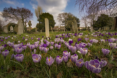 Crocus In a Graveyard, Bognor regis. (Kutub Uddin...) Tags:
