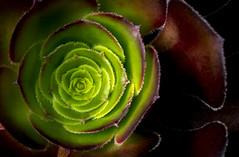 18A_8464-Edit (Mark Ritter) Tags: macro closeup floral flora flower succulent